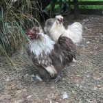 Chocolate silver partridge bantam silkie