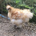 Gold frizzle silkie