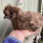 Chocolate bearded silkie