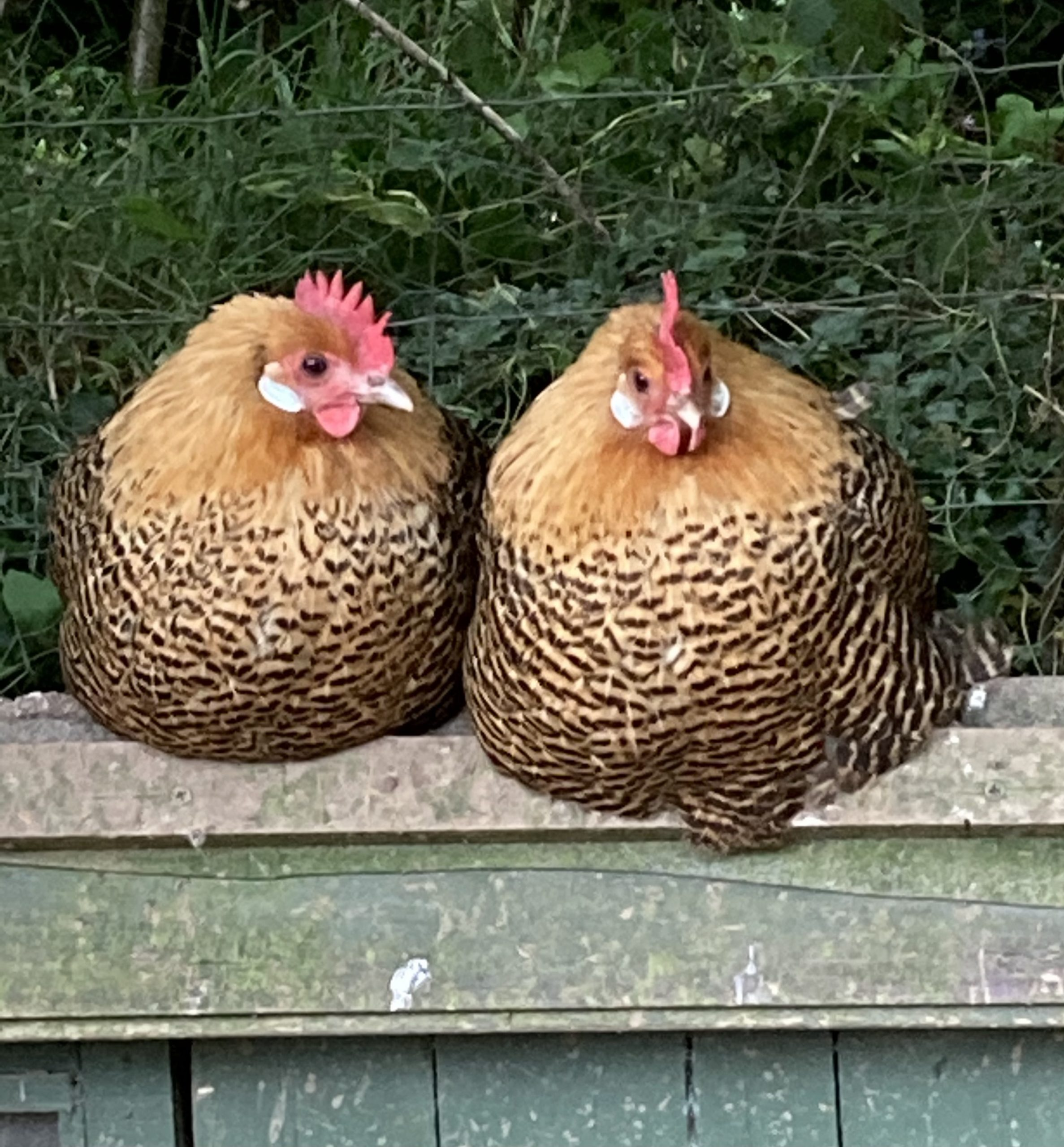 Gold campine hens
