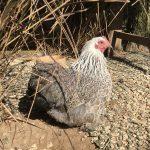 Silver partridge